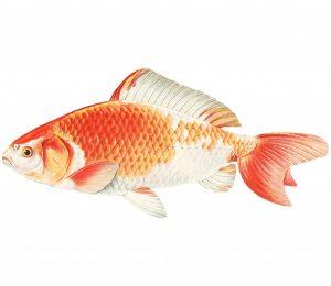 Il pesce lumaca